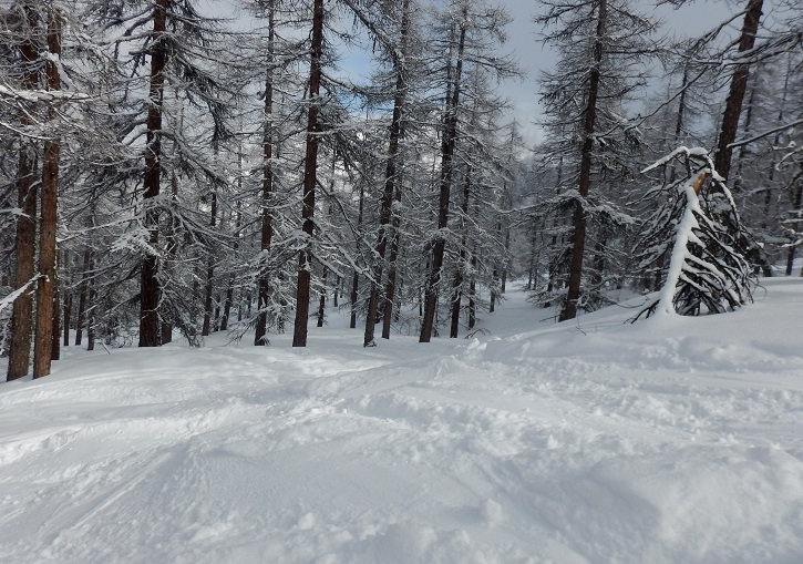 Some exceptional tree skiing int the larch forests at Oulx.