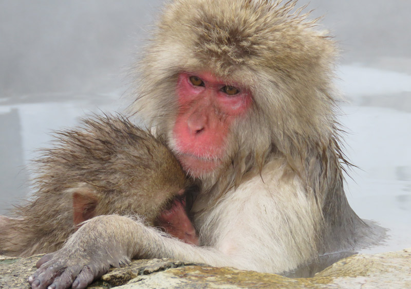 Take a day trip to the famous snow monkey onsen