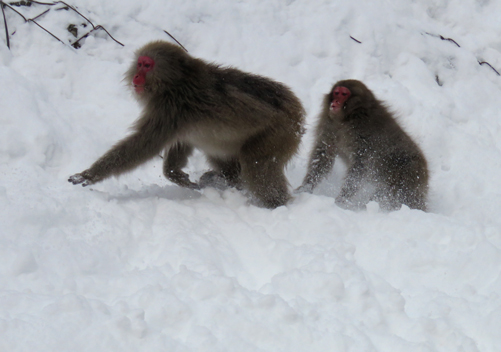 The snow monkeys are not far from Shiga Kogen