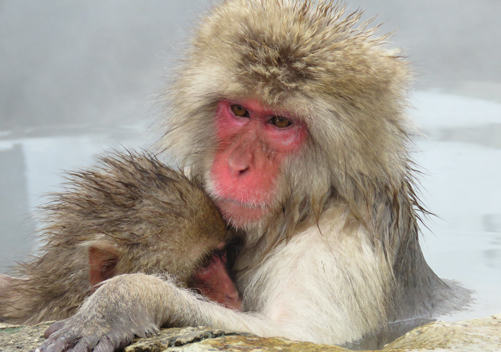 Yudanaka is called snow monkey town